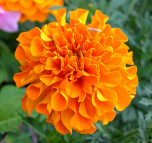 Blog #249 - Orange Flower